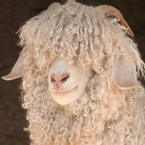 The Story of Mohair - Angora goat